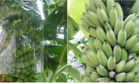 芹苴市学生以香蕉皮成功配制用于保存蔬果的生物制品