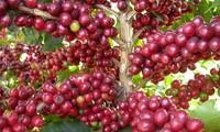 越南林同省咖啡价格大跌