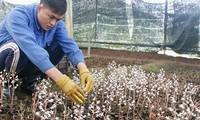 昆嵩省下田种植药用植物