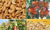 Vietnam ranks 1st  in cashew nut export for 8 years in a row