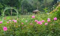 La plus grande roseraie du Vietnam