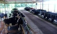 Kaum tani kabupaten Cu Chi, kota Ho Chi Minh mencapai kesejahteraan dari pemeliharaan sapi perah