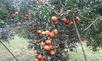 Kabupaten Quang Binh, Provinsi Ha Giang mengembangkan pohon jeruk manis secara berkesinambungan menurut standar VietGap
