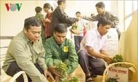 Kon Tum proporciona plantas de ginseng Ngoc Linh a cultivadores locales