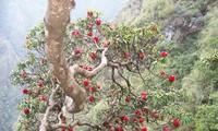 ホアンリェンソン国立公園のシャクナゲ
