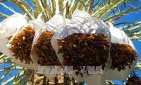アルジェリア ナツメヤシをベトナムに輸出