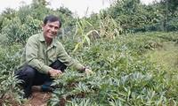 コントゥム省での薬草栽培