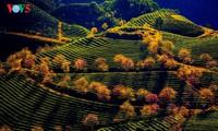 人々の心を奪うサパの茶畑