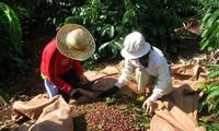 Meningkatkan nilai kopi  dan mengembangkan zona ekonomi daerah Tay Nguyen