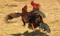 Cockfighting: long-standing form of popular entertainment