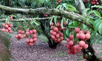 Bac Giang uses trade promotion to boost lychee sales