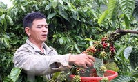 Developing coffee zones in Dak Lak province