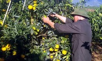 Farmers in Hoa Binh getting rich growing oranges