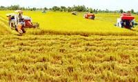 Organic rice production models to affirm Vietnam's export status