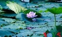 美丽的顺化莲花
