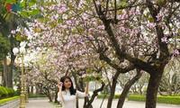Hoa Ban blossoms prettify Hanoi streets