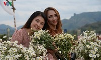 Discovering ox-eye daisies garden in Son La