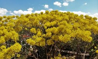 Bao Loc city sees stunning yellow-flamboyant flowers in full bloom