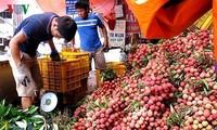 Hai Duong exporte 9.500 tonnes de litchis