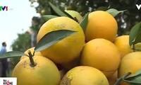 フンイエン省の特産オレンジ