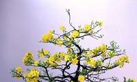 承天顺化省的《梅花盆景之都》——田和乡