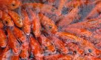 红鲤鱼专业养殖乡——富寿省水沉村