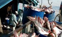 越南九龙江茶鱼价格猛涨