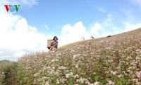 美丽的北河山谷荞麦花