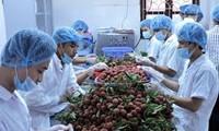 2015年越南向美国市场出口3吨以上鲜荔枝