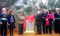 安沛省400棵山茶树被列入越南遗产树名录