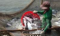 九龙江平原地区的查鱼种苗价格下降