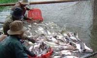 Exportvolumen von Pangasius-Fisch soll auf zwei Milliarden US-Dollar steigen