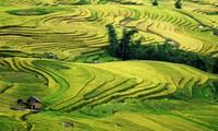 Genuss des Gelbs von reifen Reisfeldern in Y Ty