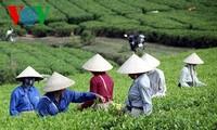 Teeherstellung nach dem VietGap-Standard in Tuyen Quang