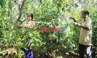 Binh Phuoc: Nhip - ein Waldgemüse wird Spezialität in Hausgärten