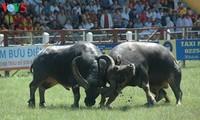 Einzigartigkeit des Büffelkampffestes in Do Son