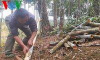 Träume der Bewohner in Bao Yen vom Zimtanbau