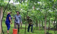 Warga Kabupaten Moc Chau menanam pohon markisa untuk ekspor