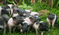 Сохранение редкой породы свиней в городе Монгкай
