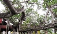Cây đa 13 gốc ở Hải Phòng được công nhận là cây di sản Việt Nam