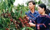 Phát triển vùng cà phê bền vững ở Đắk Lắk