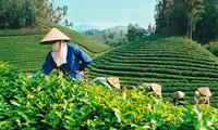 Chè Việt Nam đang có cơ hội thuận lợi để xây dựng thương hiệu tại Mỹ