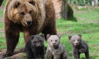 Nâng cao nhận thức cộng đồng về công tác bảo vệ gấu