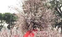 Nhiều nét mới tại Lễ hội hoa Anh đào Nhật Bản - Hà Nội năm 2019
