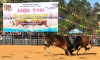 Thi chọi bò đầu xuân - một nét đẹp nơi vùng cao Điện Biên