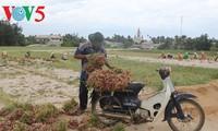 Usaha pemanaman bawang merah dan bawang putih di kabupaten pulau Ly Son, provinsi Quang Ngai