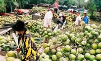 Pohon kelapa di  kebun-kebun perkarangan Propinsi Ben Tre