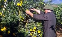 Kaum tani Kabupaten Cao Phong, Propinsi Hoa Binh, memperkaya diri dari pohon jeruk