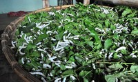 Kerajinan menanam pohon murbei dan budidaya ulat sutra di Kabupaten Thieu Hoa, Propinsi Thanh Hoa