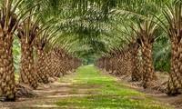 Memperkenalkan sepintas lintas tentang pohon sawit di Vietnam